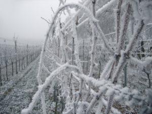 vigneto congelato dal freddo